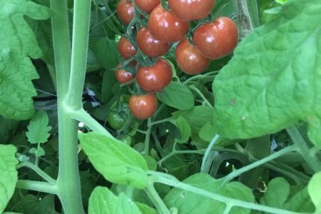 最近は雨が続き携帯を持ち歩かず写真がおろそかに。今日はハウスのフルーツトマトの写真を。トマト農家さんのトマトはスマートなのにうちはわさわさ、葉っぱからのぞく赤色見つけての収穫です。今週は直売で声をかけてもらったり、直売に直接丸いズッキーニがほしいとお客さんからリクエストがあったり、急に手応え️ありがたい限りです。いい波がきた!と思っても収量がちょっと落ちちゃったりして農業って難しい今日9時から健康診断あるから昨日の夜9時から何も食べてないのにうっかりいつものくせで、マイクロトマト 一粒食べちゃった。久々の様々な検査、緊張してる〜。30分前なのにいっぱい人並んでる〜。もちろん間空けて〜。#畑#田舎#田舎暮らし#専業農家#とっとり#鳥取市#移住#農業女子#野菜#野菜販売#旬#農業#就農#やさい#地方発送#kushi#kushitani#ズッキーニ#愛菜館#わったいな#鳥取直売#コリンキー#販売受付中#さいごう#西郷#河原町#フルーツミニトマト