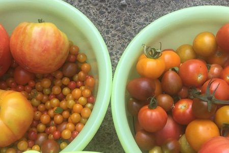 写真が下手ですが、トマトは大玉オレンジがとれたり、マイクロトマトが300g以上とれたり。あっついけど収穫楽しい毎朝です。甘長、エメラルドオクラ、トゲなしピカ太郎(なす)などもとれ、詰め合わせもできそうになってきました。興味あるかたはhanatakumi@icloud.comまでご連絡くださいませ🤗#畑#田舎#田舎暮らし#専業農家#とっとり#鳥取市#移住#農業女子#野菜#野菜販売#旬#農業#就農#やさい#地方発送#kushi#kushitani#マイクロトマト#大玉トマト#オレンジトマト#牛の心臓