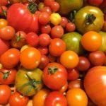 夏野菜はカラフルで絵を描きたくなる色いっぱい。描いてないけど。収穫後のお風呂、シーブリーズの匂いがすると高校バレー部合宿を思い出す。苦しい思い出もあるけどそのおかげでIターンの私はここでバレーを通じて楽しく暮らせているのではないかと思う。#畑#田舎#田舎暮らし#専業農家#とっとり#鳥取市#移住#農業女子#野菜#野菜販売#旬#農業#就農#やさい#地方発送#kushi#kushitani#バレー#シーブリーズ#マイクロトマト#グリーントマト#中玉フルティカ#大玉オレンジマーブル#パープルキャンディ#バレーは素晴らしい