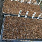今日は茶豆を直売に。虫食いが多く株数の割には少ない収穫、2kgちょっとを、10パックにして販売しました。次は黒豆、虫やだな〜。ズッキーニ、トマトも力尽きてきたのでそろそろ終わりかな。ハウスでマイクロトマトはもう一回!秋に向けていろいろ種まき!どうなるかな〜。 #畑#田舎#田舎暮らし#専業農家#とっとり#鳥取市#移住#農業女子#野菜#野菜販売#旬#農業#就農#やさい#地方発送#kushi#kushitani#種まき#トマト#サラダ絹さや#パクチー#ズッキーニ#カリフラワー#ブロッコリー#マイクロトマト#kushifarm