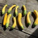 グリーンパンツとラディッシュと。えばこさんに出発です。#畑#田舎#田舎暮らし#専業農家#とっとり#鳥取市#移住#農業女子#野菜#野菜販売#旬#農業#就農#やさい#地方発送#kushi#kushitani#グリーンパンツ#ラディッシュ#のうぎょう