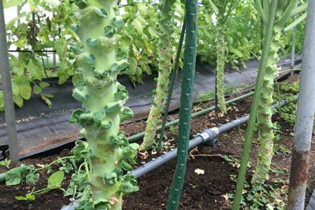 はじめての芽キャベツ、これでよいのかな?マイクロトマト一向に色付かない。きぬさや実はつくが出荷するほどまとめて実はそろわない。水菜と小松菜、レタス、200穴トレイで育苗したら、取れなくなっちゃった。ラディッシュ、かわいいのに収穫前に水玉模様。育てた野菜がお金にかわるよう知恵足りてないなぁ〜。 難しいなぁ〜今週からわったいなというところにも出荷開始しました。えばこにもねぎ置きます。直接注文受け付けまーす!#畑#田舎#田舎暮らし#専業農家#とっとり#鳥取市#移住#農業女子#野菜#野菜販売#旬#農業#就農#やさい#地方発送#kushi#kushitani#白ネギ販売中#芽キャベツ#きぬさや#ハウストマトみどりのまんま