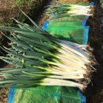 今日は雨が降ったりやんだり。寒かったり暑いくらいだったり。例年なら雪の中、みぞれの中の収穫なのに今シーズンは春みたい。明日はこっそり育てた赤ネギ掘りにいこう。#畑#田舎#田舎暮らし#専業農家#とっとり#鳥取市#移住#農業女子#野菜#野菜販売#旬#農業#就農#やさい#地方発送#kushi#kushitani#わったいな#白ネギ