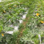 携帯が熱々にならないうちに、朝の収穫のときに写真撮ってきました📸ズッキーニやらコリンキーやらマイクロトマト やら菊芋、赤目大吉、京芋やらとうもろこしや茶豆やきゅうりやなすやアスパラキャベツあとネキリにズタズタにやられているさつまいも4種。露地に植えていますあとハウスには黒落花生、落花生の苗。あ、玉ねぎ収穫しないと。ミニ玉ねぎを。#畑#田舎#田舎暮らし#専業農家#とっとり#鳥取市#移住#農業女子#野菜#野菜販売#旬#農業#就農#やさい#地方発送#kushi#kushitani#ズッキーニ#菊芋#コリンキー#あれこれ野菜