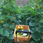 コリンキーの棚、お気に入りですコリンキーもおとといから出荷始まりました昨日はタイムラインをみて直接ズッキーニの注文をいただき直売用は少なかったですが今日は愛菜館、わったいなへ出荷です😙#畑#田舎#田舎暮らし#専業農家#とっとり#鳥取市#移住#農業女子#野菜#野菜販売#旬#農業#就農#やさい#地方発送#kushi#kushitani#わったいな#愛菜館#コリンキー#ズッキーニ#鳥取東部#鳥取