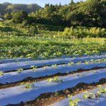 時間差で植えたズッキーニ3回目の定植した株も元気になってきました。相変らず変な時に花ついてますけど朝の畑は朝露で足元ビショビショですがとっても気持ちいいですね。ナスやきゅうり、マイクロトマト の収穫などもうちょっと忙しくなってほしいなぁ。今日のズッキーニは昨日の2/3くらいの収穫量だったかなぁ🤔今日はわったいなへ出荷の後、ちょこっと海へ。出荷の帰りに5分あれば余裕で海来れちゃうなんて贅沢だよな〜ご覧の通り三密にならないのが鳥取のよいとこだ。#畑#田舎#田舎暮らし#専業農家#とっとり#鳥取市#移住#農業女子#野菜#野菜販売#旬#農業#就農#やさい#地方発送#kushi#kushitani#ズッキーニ#鳥取の海#落花生#落花生栽培わったいな#愛菜館#わったいなに出荷